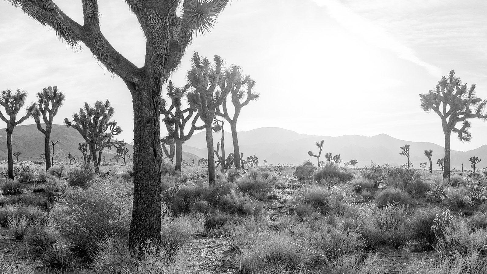 Joshua Tree California - Black and White Fine Art Landscape Photography.