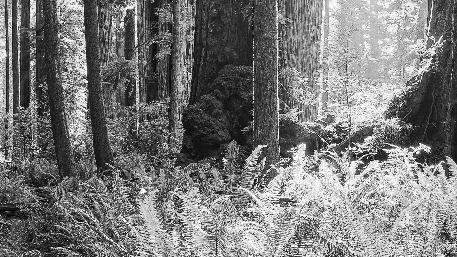 Redwoods Detail - Californian Redwoods, California Black & White Fine Art Photography