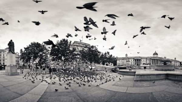 The Birds - Panoramic Black & White Fine Art Photo of the birds of Trafalgar Square London.