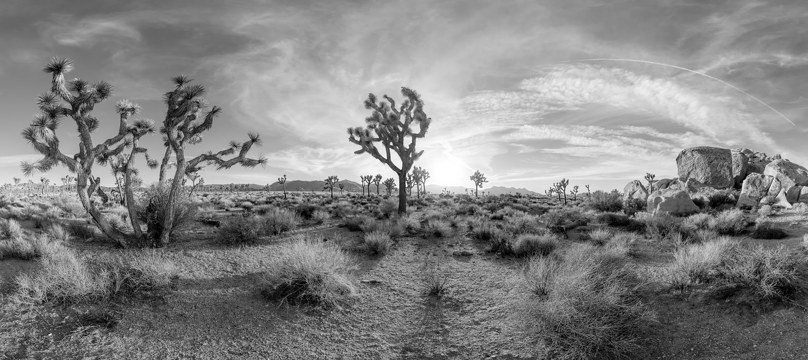 Joshua Tree Acrylic - California Black & White Fine Art Photo