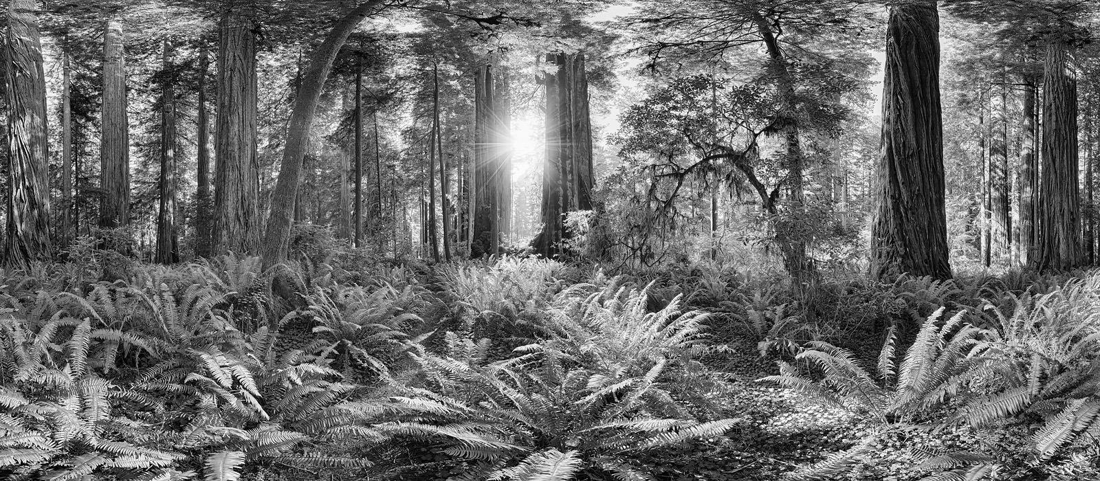 Redwoods Acrylic - California Black & White Fine Art Photography