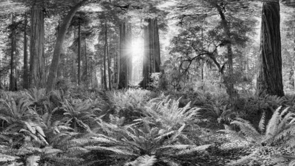 Redwoods - Californian Redwoods (Sequoia). Black & White Fine Art Print.